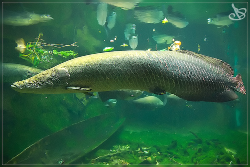 ... freshwater fish, which frequent the waters of the Amazon River